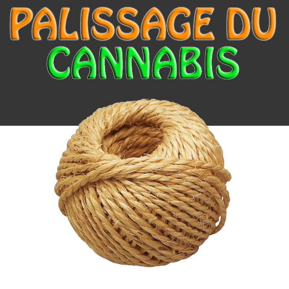 Palissage des plants de Cannabis