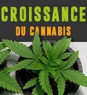 Croissance du Cannabis