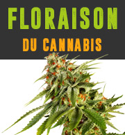 Floraison du cannabis