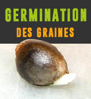 Germination des graines de cannabis