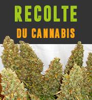 Recolte du Cannabis
