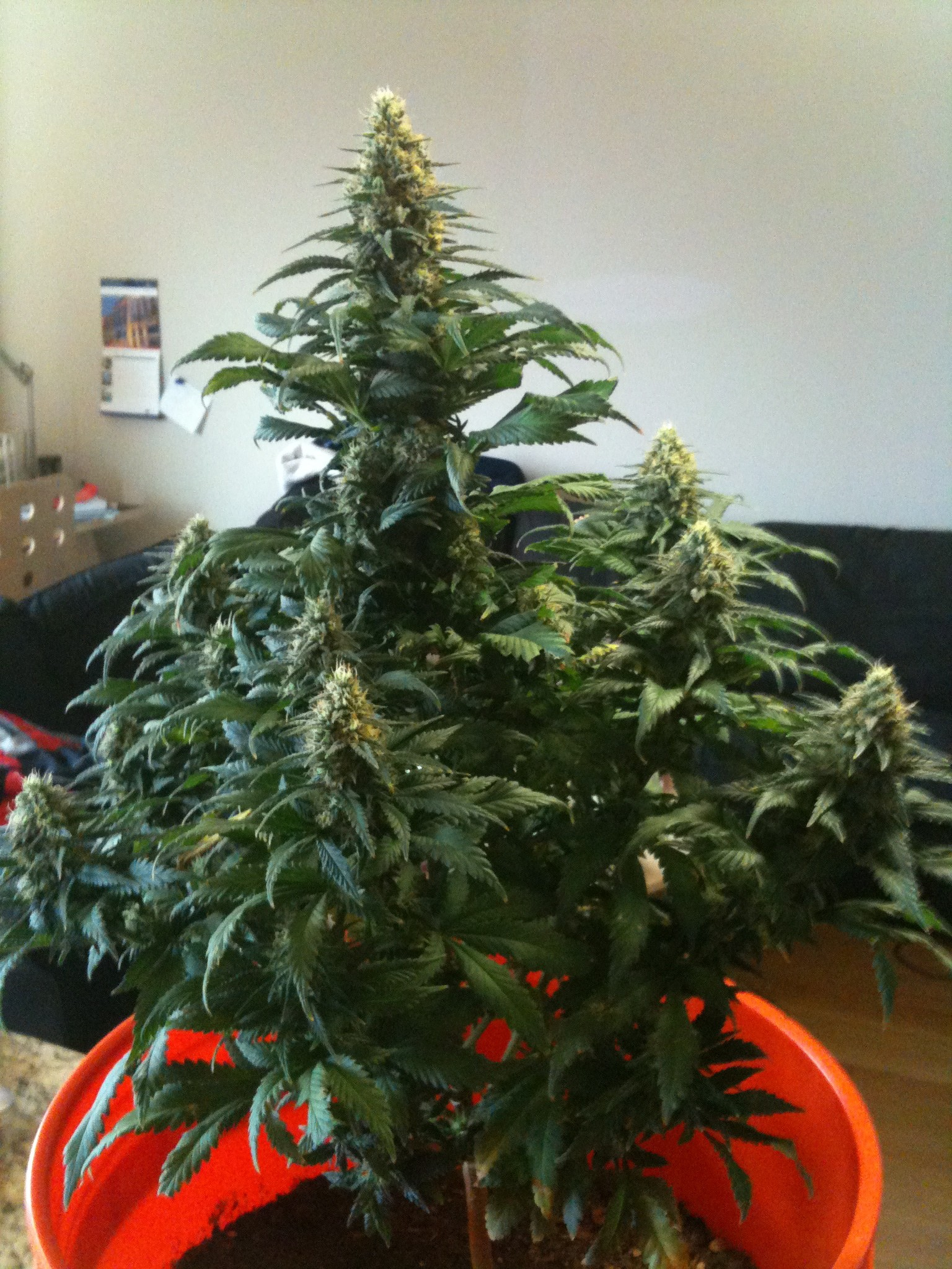 Afghan kush special world of seeds for Afghan kush exterieur