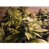 Graines de Acid Paradise Seeds