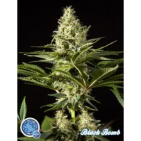 Black Bomb | Philosopher Seeds