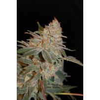 Black Diesel Advanced seeds