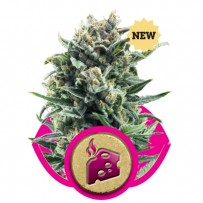 Blue Cheese de Royal Queen Seeds