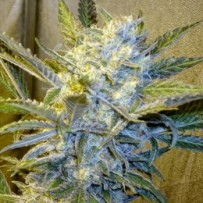 Blue Mystic Nirvana seed