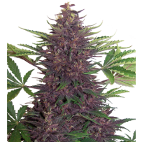 Graines de Buddha Purple Kush