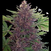 Graines de Buddha Purple Kush