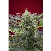 Cream 47 de Sweet Seeds