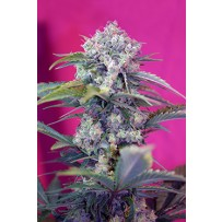 Cream Mandarine de Sweet Seeds