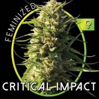 Graines de Critical Impact