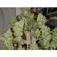 Critical Haze de Mr Nice Seeds