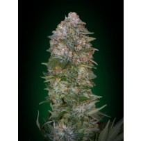 Critical Soma Advanced Seeds