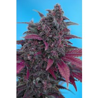 Dark Devil de Sweet Seeds