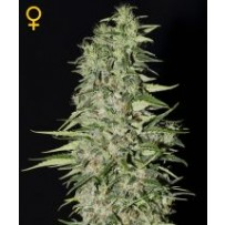 Diamond Girl Green house seeds