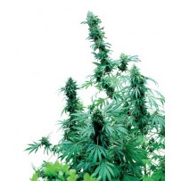 Early Skunk Sensi Seeds