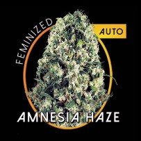Graines de Amnesia Haze Autofloraison