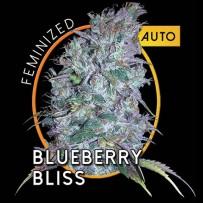 Graines de Blueberry Bliss Auto
