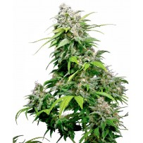 Graines de California Indica