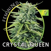 Graines de Crystal Queen