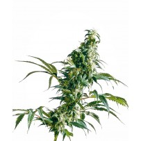 Graines de Mexican Sativa