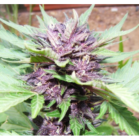 Graines de Purple Haze Auto en gros