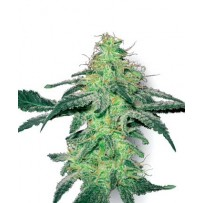 Graines de White Skunk