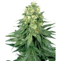 Graines de White Widow