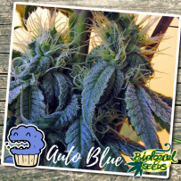 Graines Auto Blueberry Bio