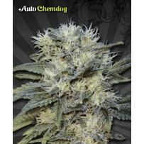 Graines Auto Chemdog