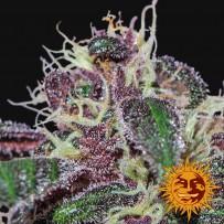 Graines de Ayahuasca Purple