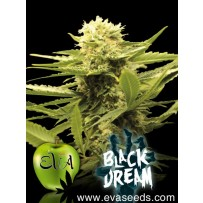 Graines de Black Dream