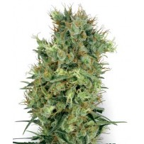 Graines de Cali Orange Bud