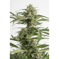 Graines de Critical Cheese Autofloraison