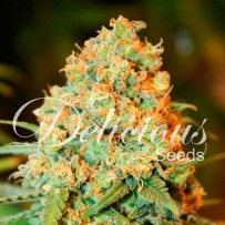 Graines de Critical super silver haze