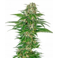 Graines de Early Skunk Autofloraison