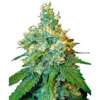 Graines de Jack Herer