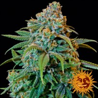 Graines de Liberty Haze