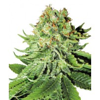 Graines de Northern Lights Autofloraison