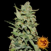 Graines de Peyote Critical