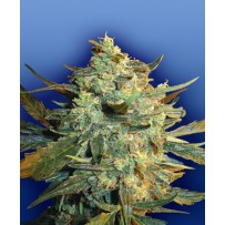 Graines de Power Skunk