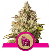 Graines de Royal Gorilla