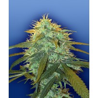 Graines de Skunk 1