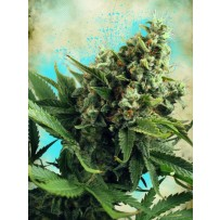 Graines de White Widow autofloraison