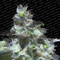 Graines de White WIdow Origine