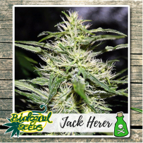Graines Jack Herer Bio