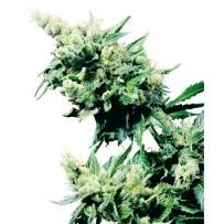 Hash Plant de Sensi Seeds