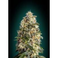 Heavy Bud d'Advanced seeds