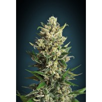 Ice Kush Advanced Seeds
